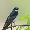 Tree Swallow, Whitewater Memorial State Park, IN