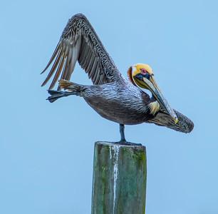 Yoga Pelican Style