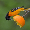 Baltimore Oriole on orange, Magee Marsh, Ohio