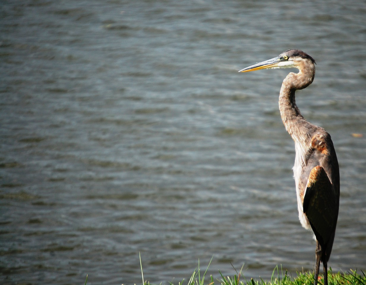 A blue Heron as see at Jacobson Park in Lexington, KY