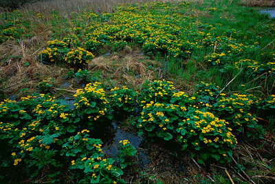 Marsh marigold in Forest Glen Seep Nature Preserve