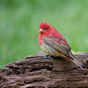 First year male Summer Tanager