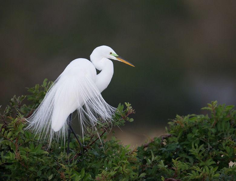 Great Egret, Venice, Florida