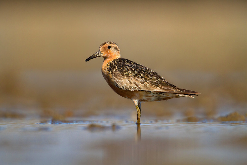 Red Knot in Breeding Plumage