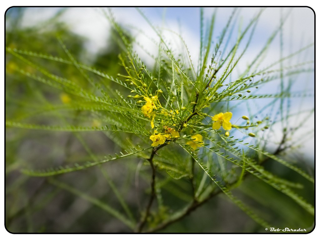 Paloverde in Bloom