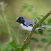 Black-throated Blue Warbler, Crane Creek, OH