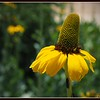 Giant Coneflower