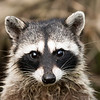 Curious Raccoon.