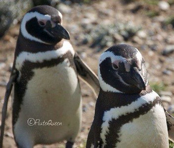 Magelenic Penguins in Punta Arenas, Chile