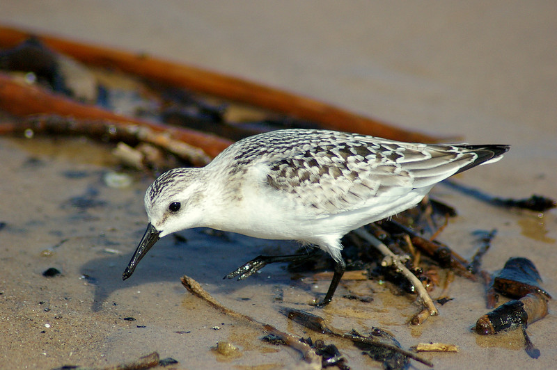 Sanderling, Indiana Dunes State Park, IN