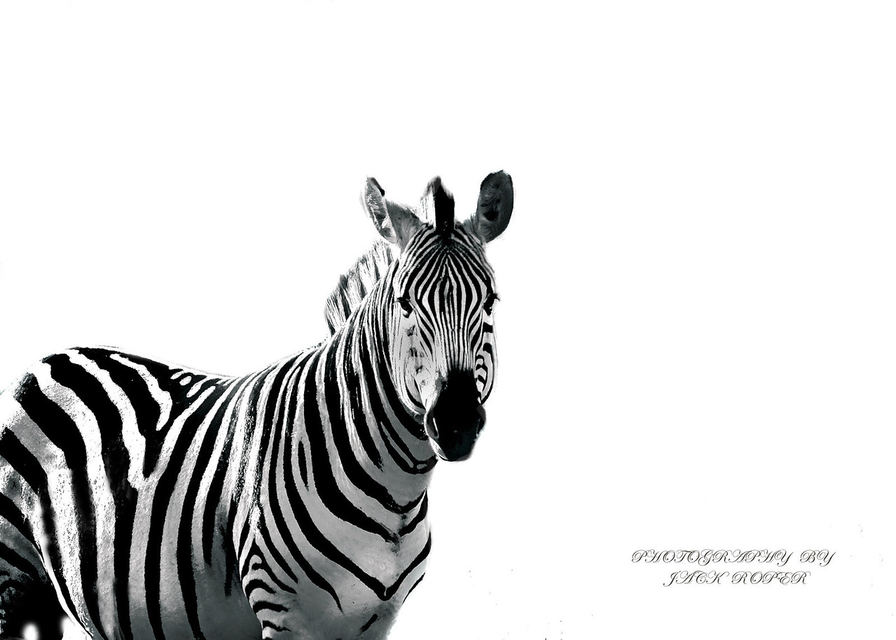 Zebra at Kruger National Park