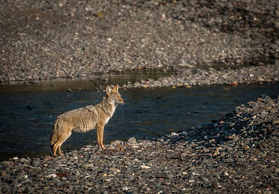 Coyote, Lamar Valley Yellowstone National Park