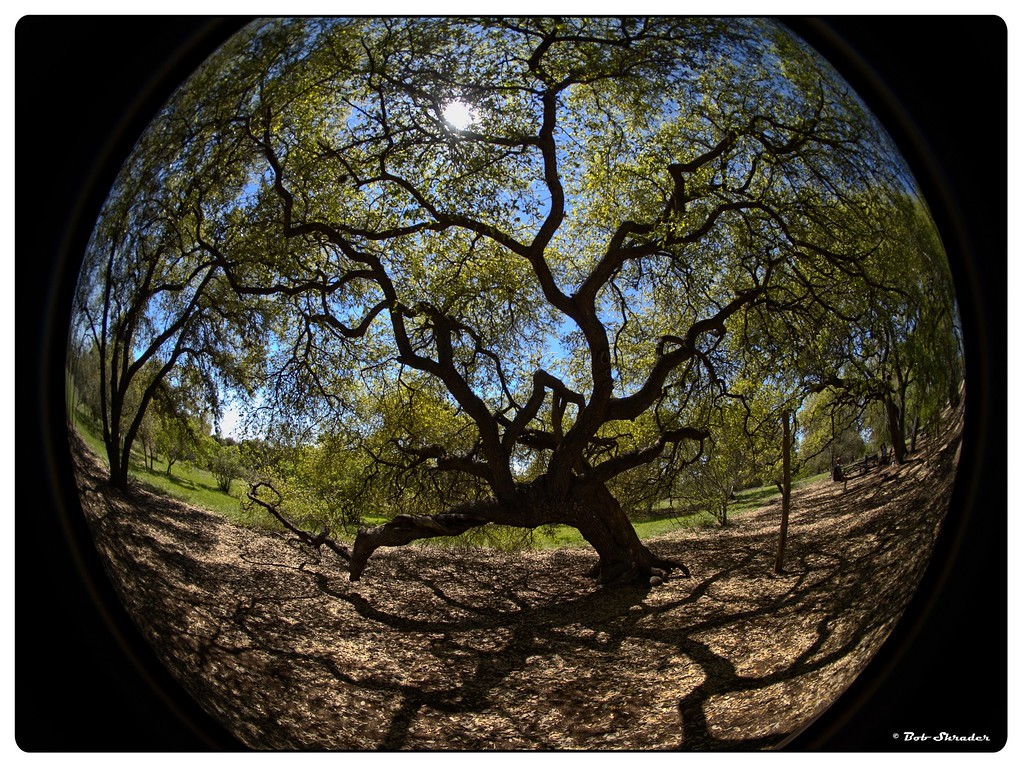Live Oak Shadows