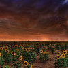 Sunflower Storm