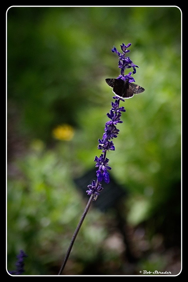 Butterfly on Mealy Blue Sage