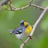 Northern Parula, Crane Creek, Ohio