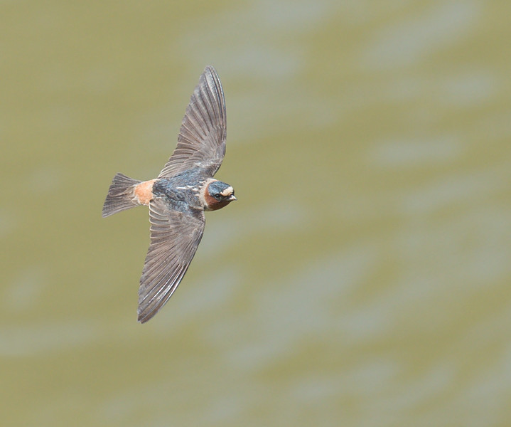 Cliff Swallow over Sugar Creek