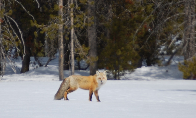 A fox posing in Grand Tetons National Park