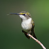 Juvenile Ruby-throated Hummingbird, IN