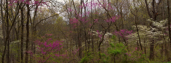 Spring in the Shawnee National Forest with redbud and dogwood in bloom