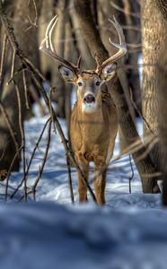 Winter Buck, MN