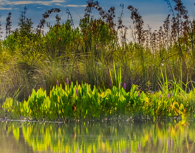SOFT STEM BULRUSHES & PICKEREL WEED