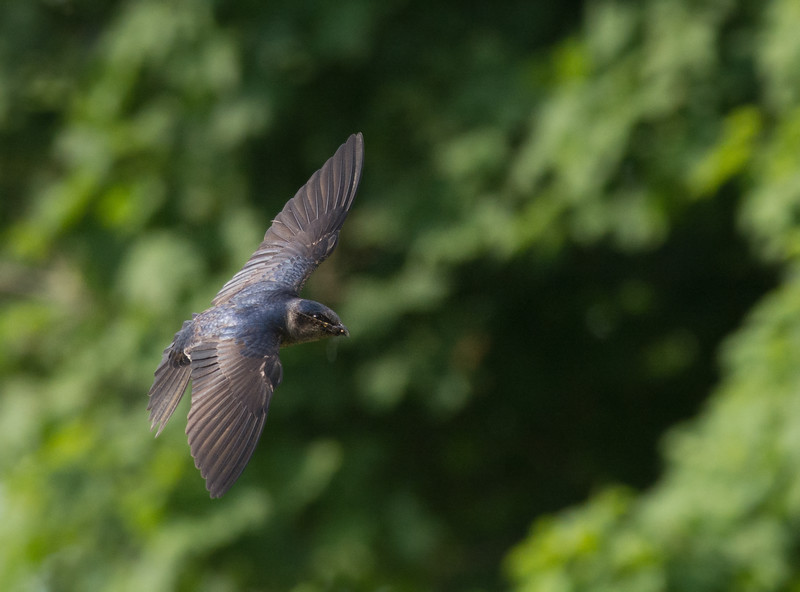 Female Purple Martin with Dragonfly, Indiana