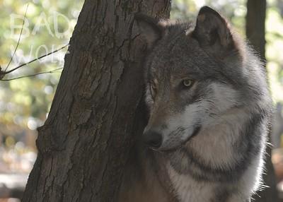 Lakota Wolf Preserve 2014