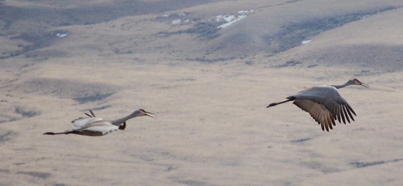 Sand Cranes in flight near Dell, Montana