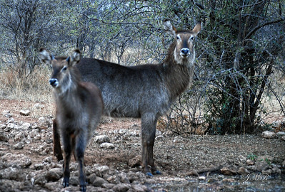 Waterbuck (Watewrbok) and yearling