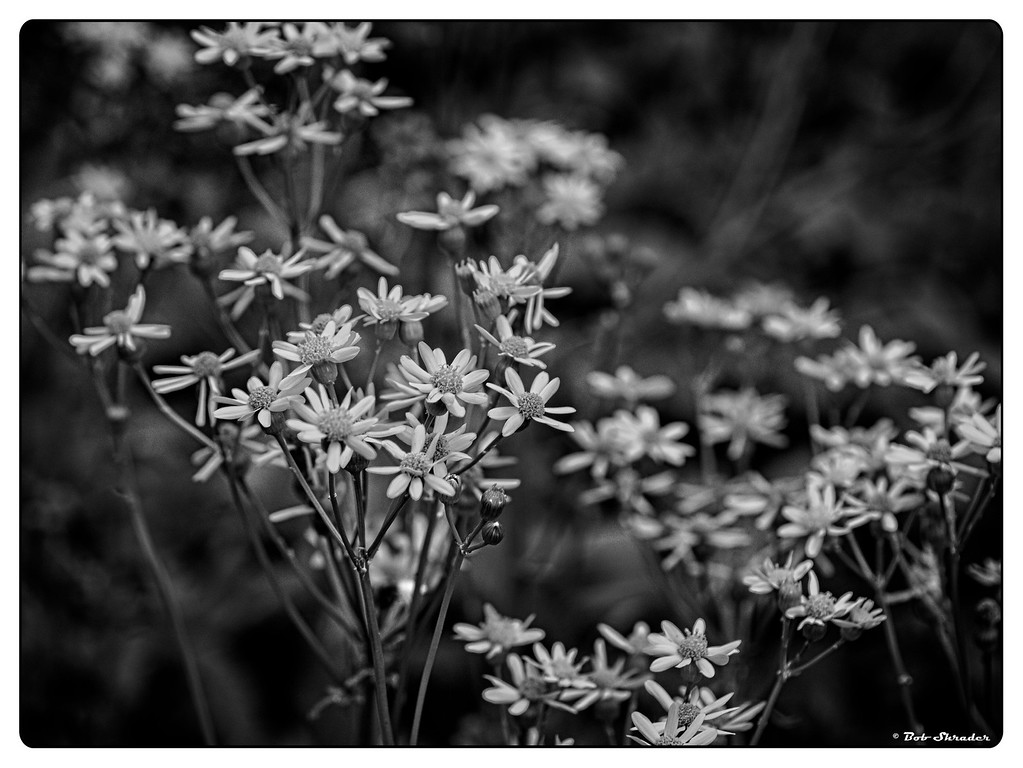 Golden Groundsel in B&W