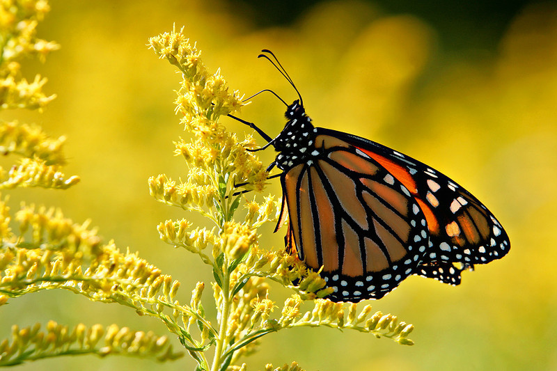 Goldenrod Monarch