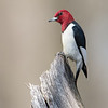 Red-headed Woodpecker, Indiana
