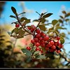 Late Season Holly Berries