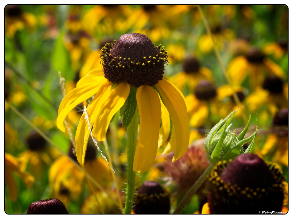 Coneflower in Sunlight