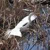 BIRDS  OF  CENTRAL  PARK     -   Great  Egret