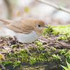 Veery, Magee Marsh, OH