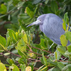 Little Blue Heron, Ding Darling NWR, FL