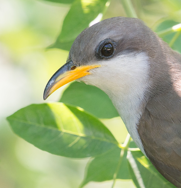 Yellow-billed Cuckoo, Indiana