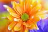 Abstract Orange Daisy