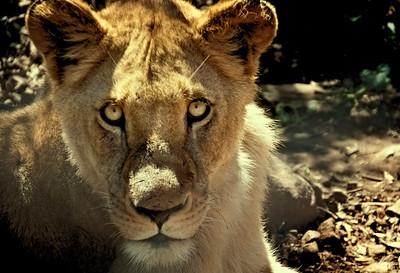 Lionese