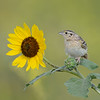 Grasshopper Sparrow, South Dakota