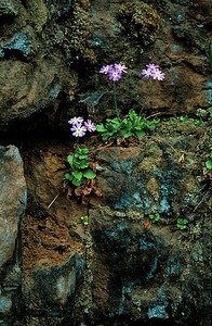 Bird's eye primrose on cliff face