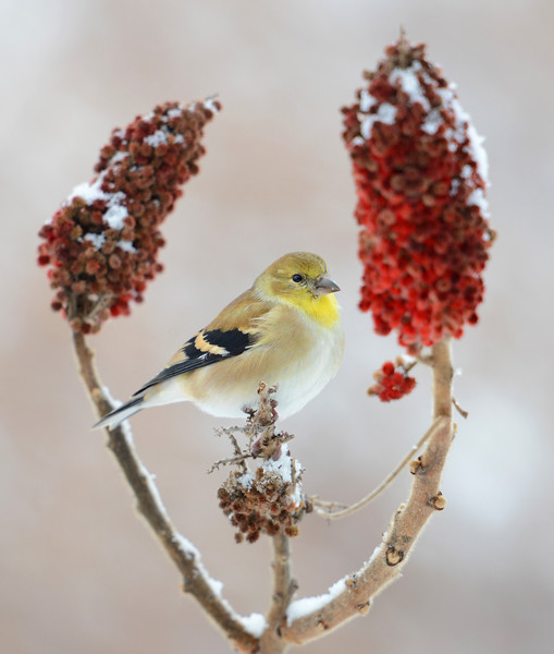 American Goldfinch, Indiana