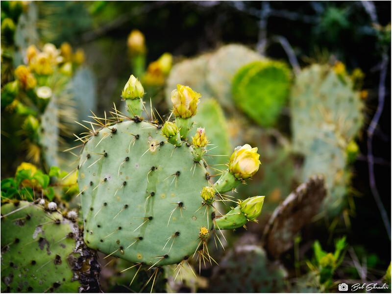Prickly Pear with Developing Buds