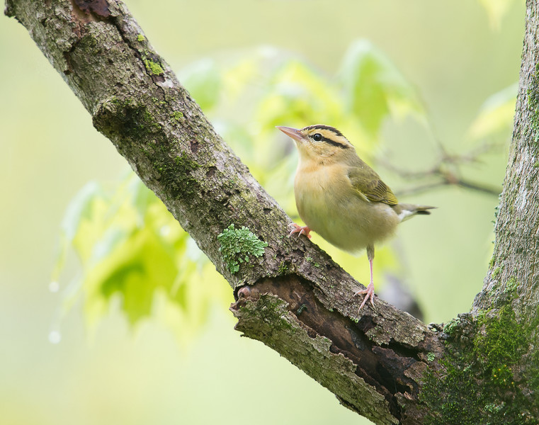 Worm eating Warbler, Shades State Park, IN