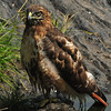 BIRDS  OF  CENTRAL  PARK   -   Red  Tail  Hawk