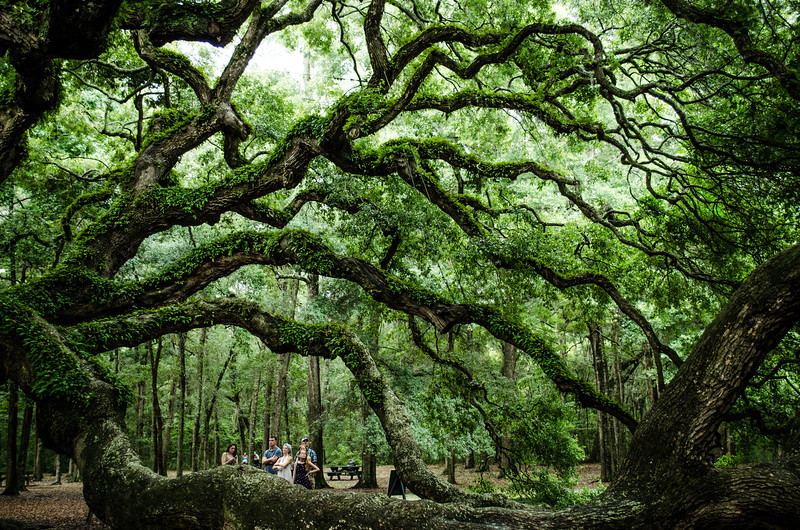 Angel Oak Branches