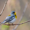 Northern Parula, Crawfordsville, IN