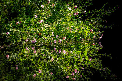 MARSH MALLOW (SWEAT WEED)